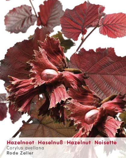 Corylus avellana 'Rode Zeller' - rode hazelaar