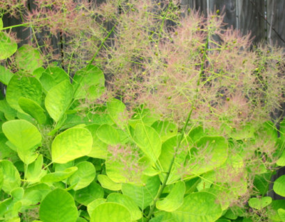 Cotinus coggygria 'Golden Spirit' - pruikenboom