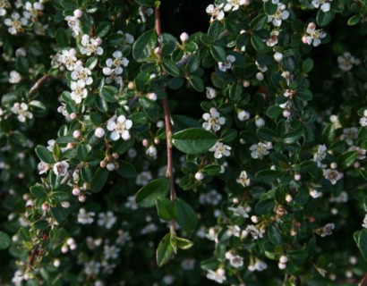 Cotoneaster dammeri 'Major'