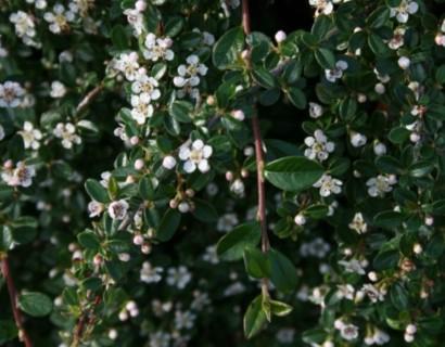 Cotoneaster dammeri 'Major' stam - dwergmispel