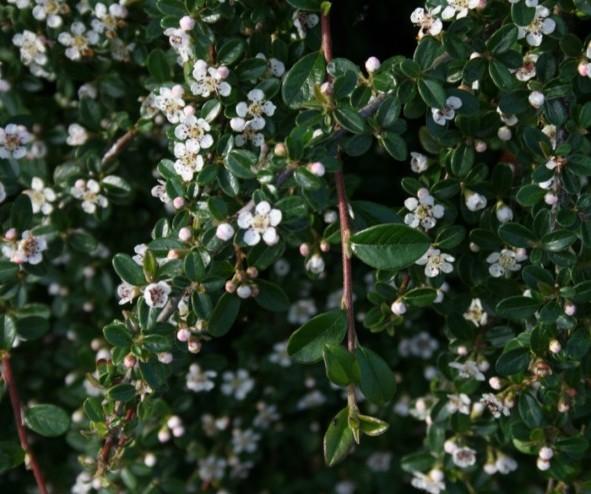 Cotoneaster dammeri 'Major' op stam - dwergmispel