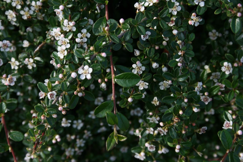 Een bloeiende bodembedekker met weinig onderhoud vinca minor maagdenpalm mar chal - Alle tuin ...
