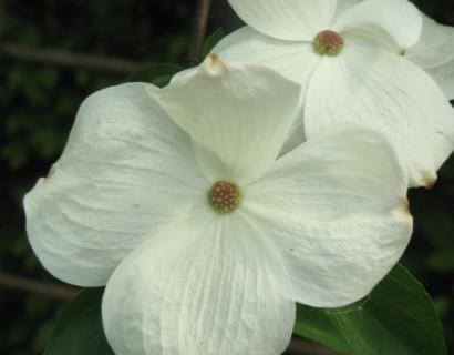 Cornus 'Eddie's White Wonder' - kornoelje