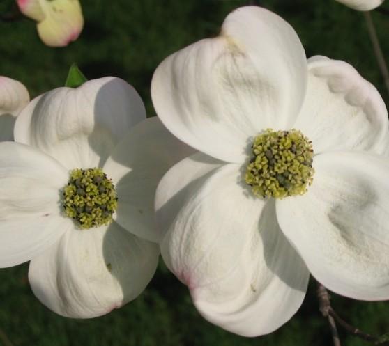 Cornus florida - kornoelje