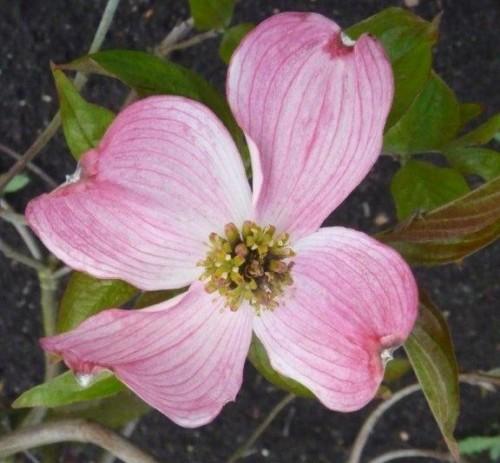 Cornus florida 'Royal Red'