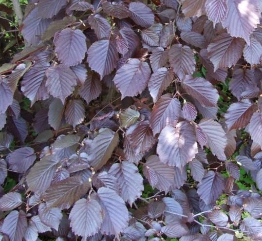 Corylus maxima 'Purpurea' - hazelaar