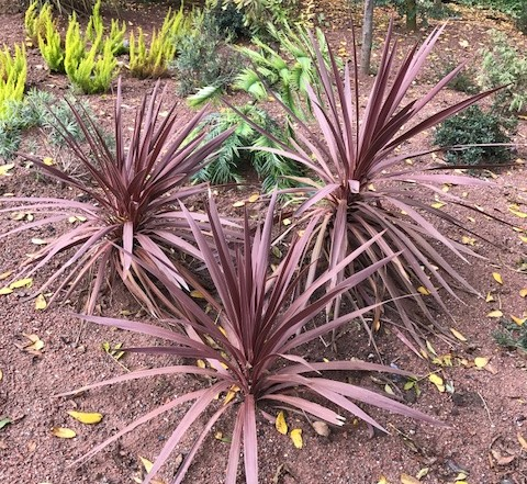 Cordyline australis 'Red Star' - cordyline