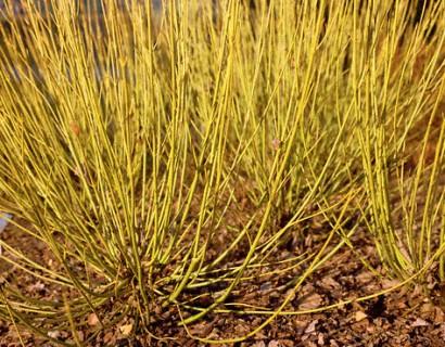 Cornus stolonifera 'Flaviramea' - gele kornoelje