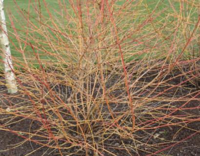 Cornus sanguinea 'Midwinter Fire' of 'Winter Beauty'