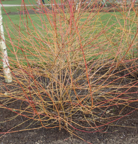Cornus sanguinea 'Midwinter Fire' of 'Winter Beauty' - kornoelje