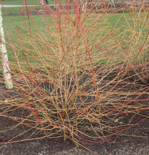 Cornus sanguinea 'Midwinter Fire' of 'Winter Beauty' - kornoelje