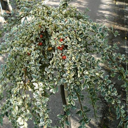 Cotoneaster suecicus 'Juliette' op stam - dwergmispel
