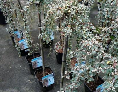 Cotoneaster suecicus 'Juliette' stam - dwergmispel