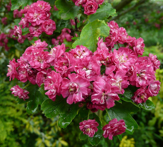 Crataegus laev. 'Paul's Scarlet' rode meidoorn in pot