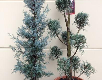 Cupressus arizonica 'Fastigiata' - Amerikaanse cypres, Arizonacypres