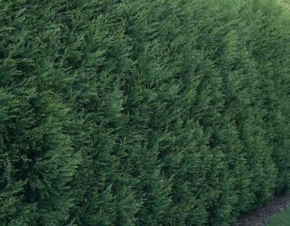 Cupressocyparis leylandii draadkluit 3 meter