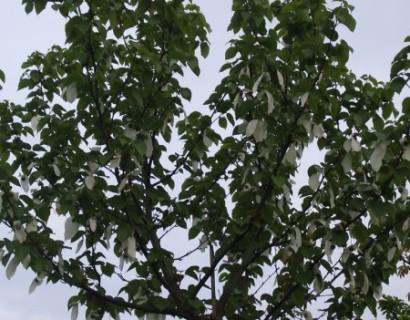 Davidia involucrata - zakdoekenboom of vaantjesboom