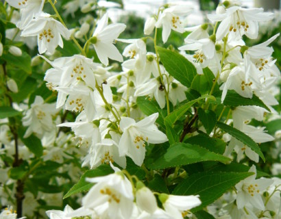 Deutzia gracilis pot 2 liter