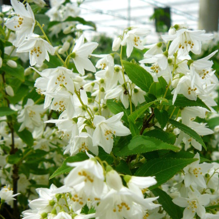 Deutzia gracilis - bruidsbloem