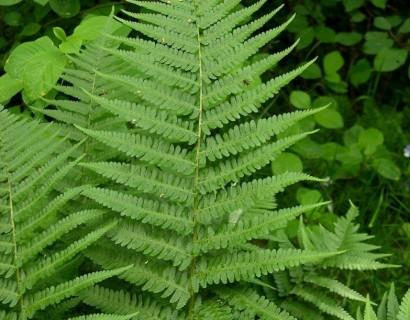 Dryopteris filix-mas pot 2 liter - mannetjesvaren