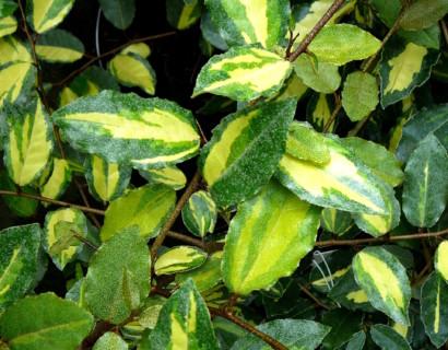Elaeagnus pungens 'Maculata' - olijfwilg