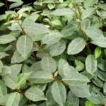 Welke planten zijn groenblijvend in de winter?