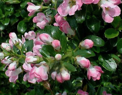 Escallonia 'Apple Blossom' - geen