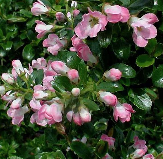 Escallonia 'Apple Blossom' - geen