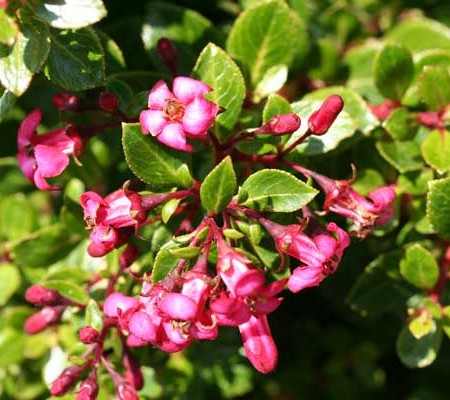 Escallonia 'Red Dream' - geen