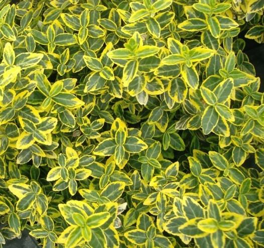 Euonymus fortunei 'Emerald 'n Gold' op stam - kardinaalsmuts of kardinaalshoed