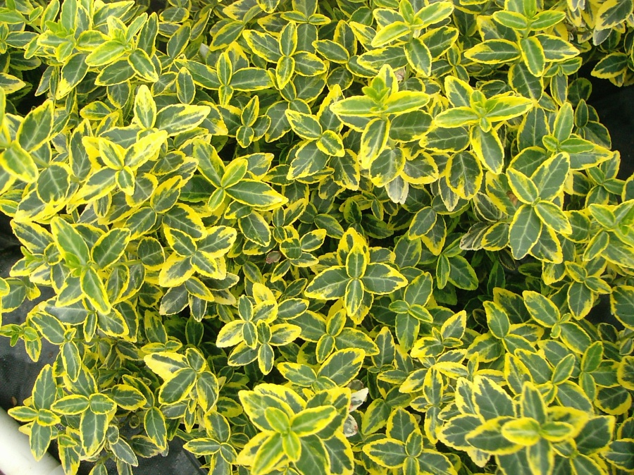Euonymus fortunei 'Emerald 'n Gold'.