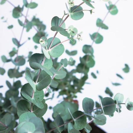 Eucalyptus gunni 'Azura' - cidergomboom, koortsboom