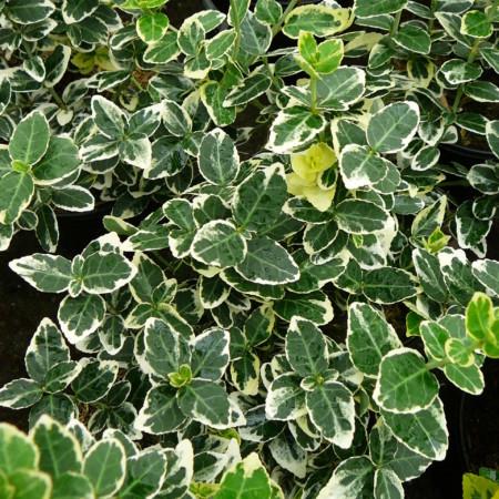 Euonymus fortunei 'Emerald 'n Gaiety' - kardinaalsmuts of kardinaalshoed