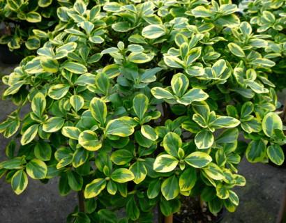 Euonymus fortunei 'Canadale Gold' - kardinaalshoed
