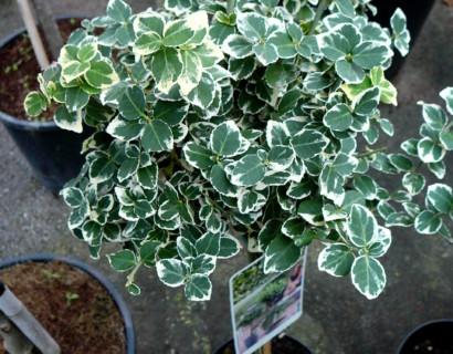 Euonymus fortunei 'Emerald 'n Gaiety' stam - kardinaalsmuts of kardinaalshoed