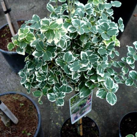 Euonymus fortunei 'Emerald 'n Gaiety' op stam - kardinaalsmuts of kardinaalshoed