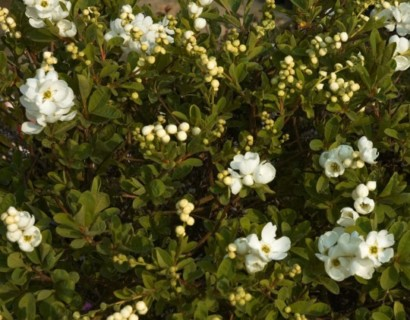 Exochorda macrantha 'The Bride' - parelstruik