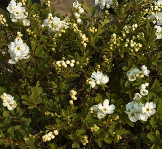 Exochorda macrantha 'The Bride' - parelstruik