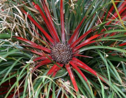 Fascicularia bicolor - tuinbromelia