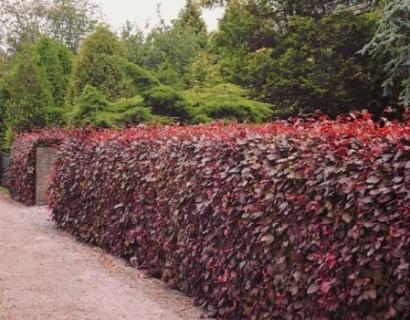 Fagus sylvatica 'Purpurea' 100/125 cm rode beuk