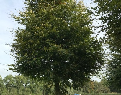 Groene beuk boom maat 10/12 - groene beuk