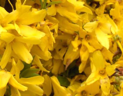 Forsythia intermedia 'Minigold' - Chinees klokje
