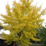Ginkgo biloba boom of Japanse notenboom.