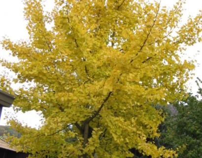 Ginkgo biloba - Japanse notenboom