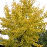 Ginkgo biloba boom of Japanse notenboom.