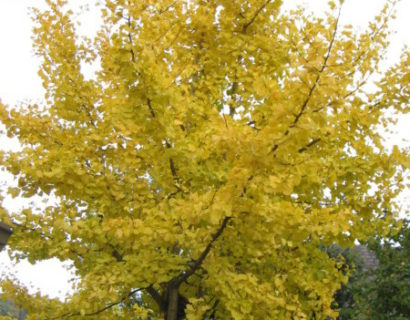 Ginkgo biloba meerstammig - Japanse notenboom