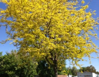 Gleditsia triacanthos 'Sunburst' - Amerikaanse christusdoorn