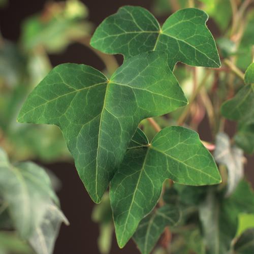 Hedera helix aan bamboestok - klimop / kleinbladige klimop / bosklimop
