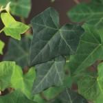 Het planten van klimop. Altijd laag geprijsd potje 9 cm € 0.45 euro, grote pot 150/175 cm € 4.50 !
