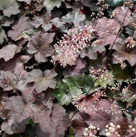Heuchera micrantha 'Palace Purple' - puperklokje